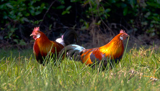 Red jungle fowl © WCS