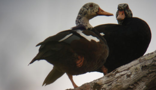 White winged duck © WCS